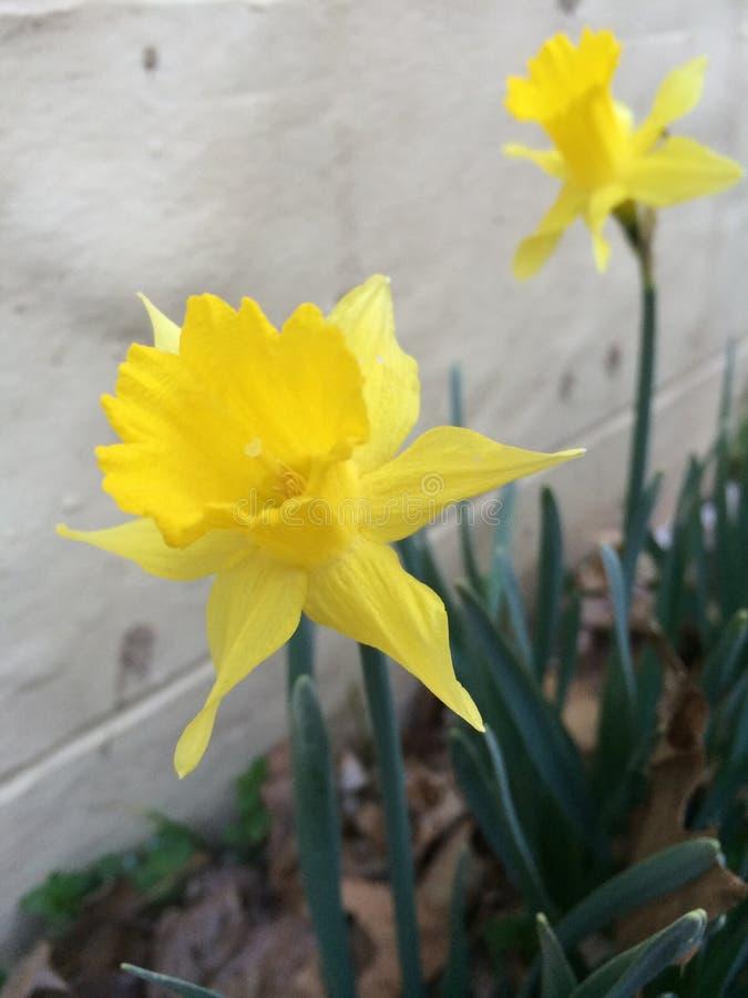 黄水仙在春天 免版税图库摄影