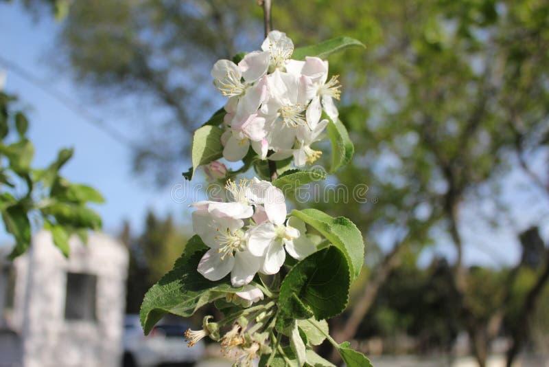 在春季白色的苹果计算机开花 库存照片