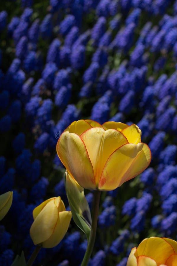 在春季的唯一郁金香花 图库摄影