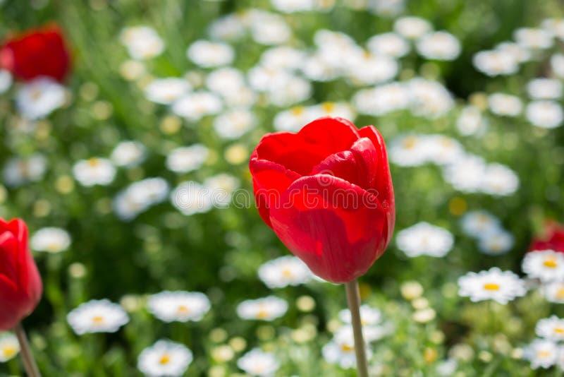 在春季的唯一郁金香花 免版税库存照片