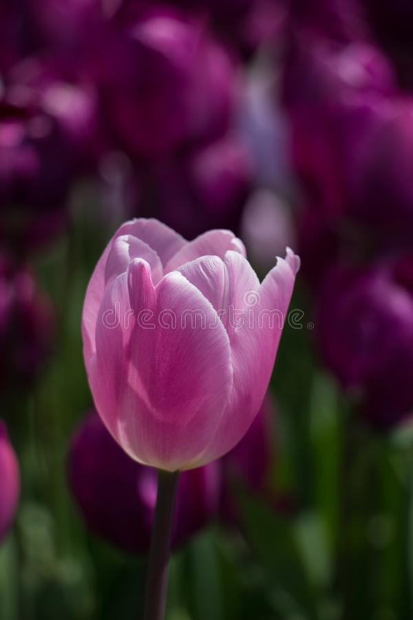 在春季的唯一郁金香花 免版税库存图片