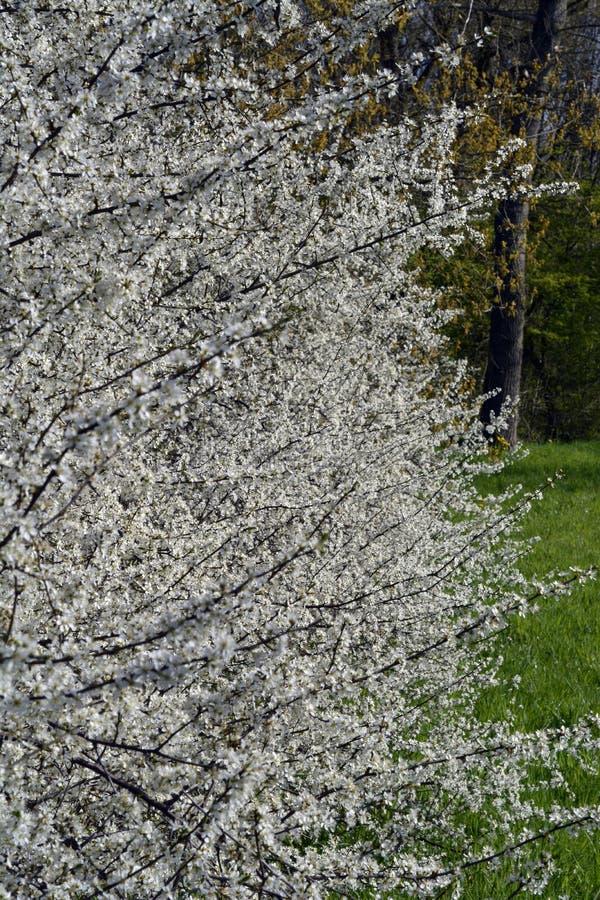 在春季的开花的白色白色开花李属和pyrus树枝杈 库存照片