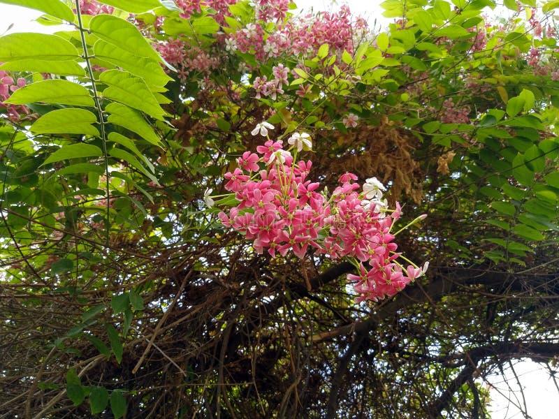 在春季的美丽的桃红色花 库存图片