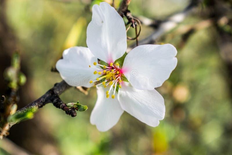在春季,自然本底的杏仁花 免版税库存照片