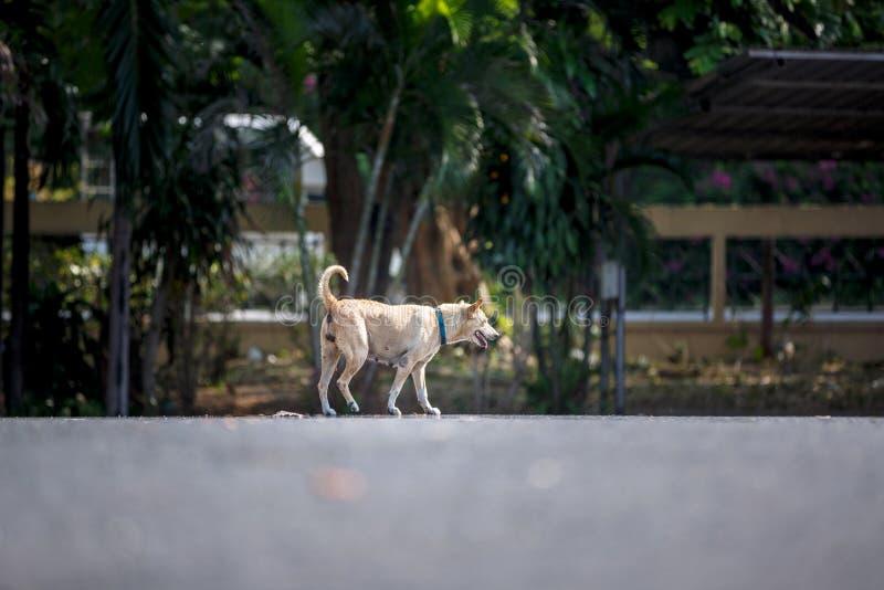 在春武里市泰国街道的流浪狗  库存图片