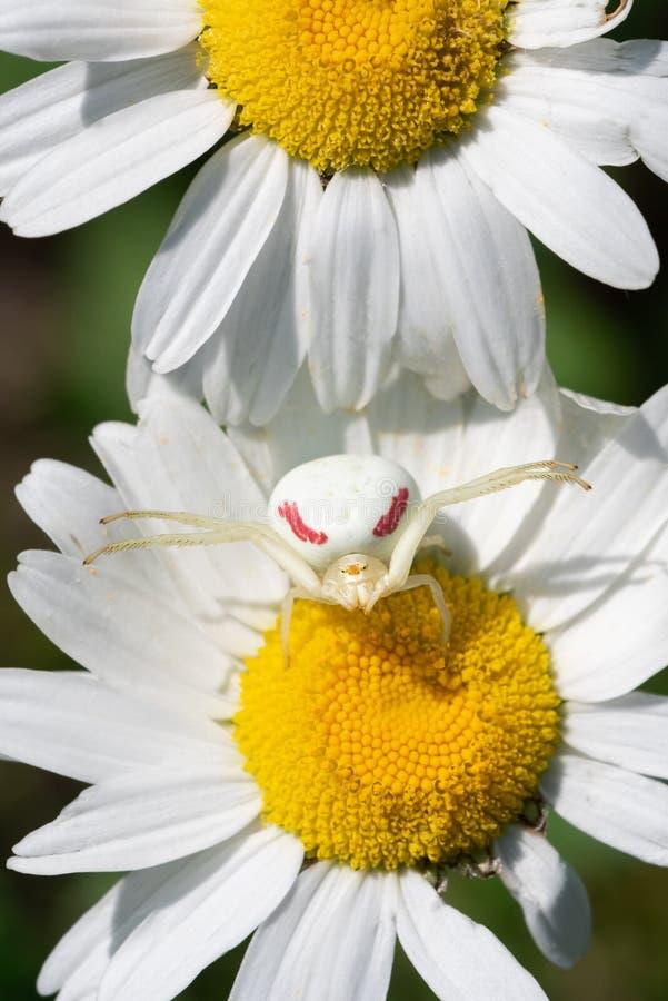 在春白菊的金毛茛螃蟹蜘蛛 免版税图库摄影