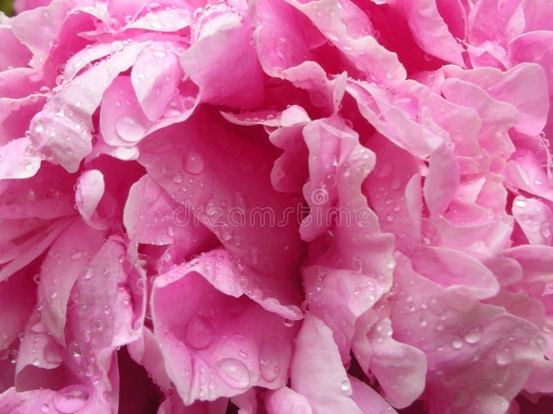 在春雨以后的桃红色牡丹 免版税库存图片
