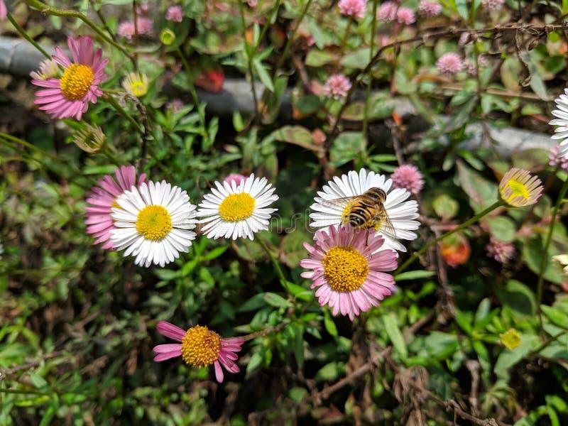 在春黄菊花的蜂蜜蜂 免版税图库摄影