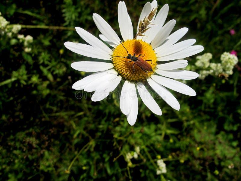 在春黄菊的甲虫 免版税库存照片