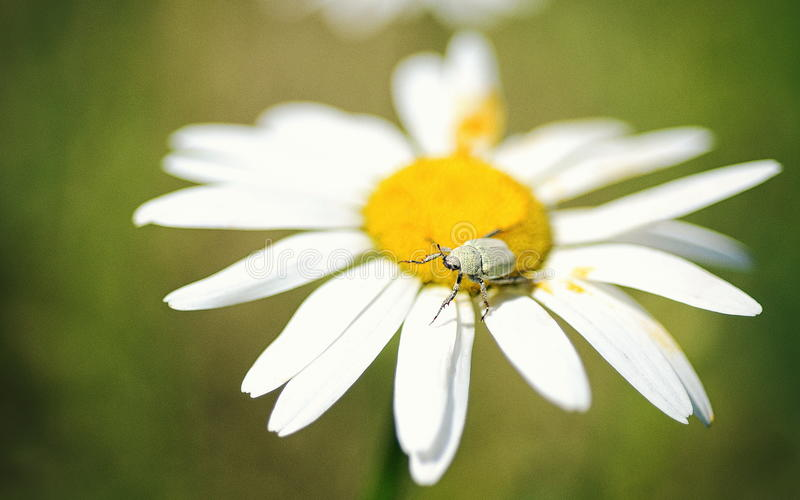 在春黄菊的臭虫 库存照片