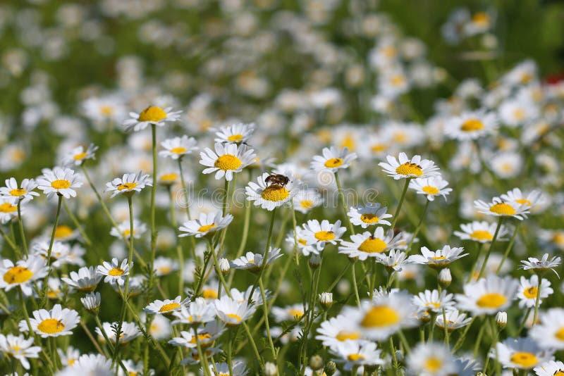 在春黄菊花的蜂 免版税图库摄影