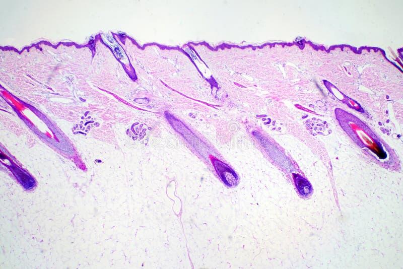 在显微镜视图下的短剖面人的皮肤头educatio的 库存图片