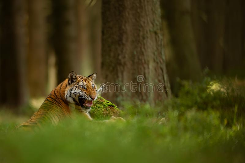 在显示他的牙的夏天森林说谎的老虎的咆哮老虎 危险anmial从closup视图 免版税图库摄影