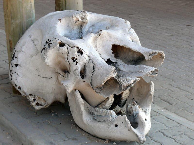 在显示的大象头骨 免版税库存图片