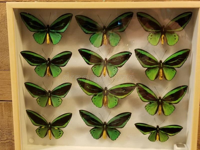 在显示的蝴蝶 免版税库存照片