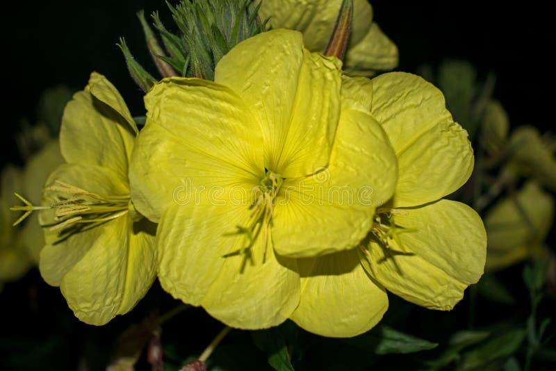 在晚上仅开花的大黄色花 夜的公主 免版税库存图片