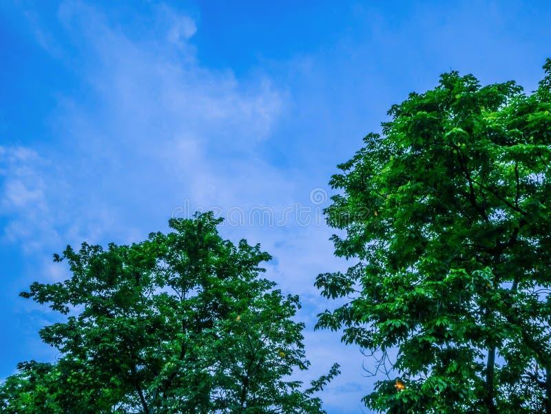 在晚上天空,美好的自然的绿色树 库存图片