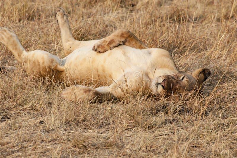 在晚上太阳的困狮子在坦桑尼亚的塞伦盖蒂 免版税库存图片