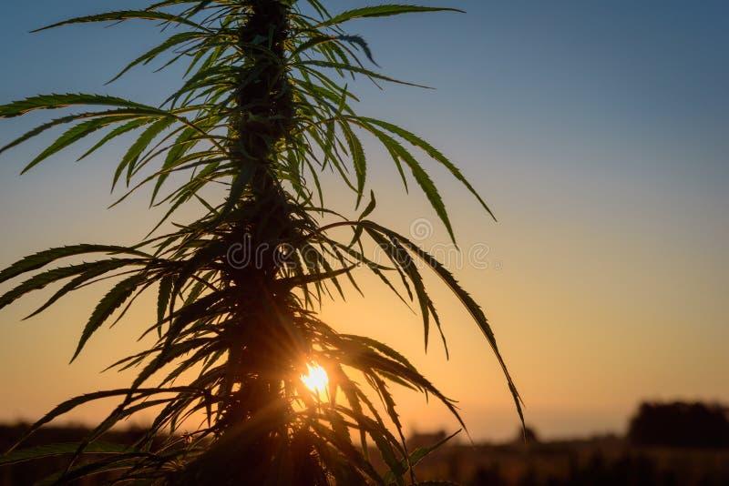 在晚上把大麻留在 免版税库存照片