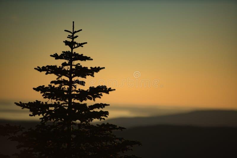 在晚上日落的杉树 免版税库存照片