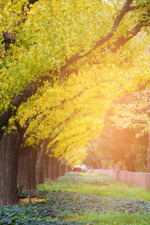 在晚秋天季节期间, Ginko染黄在树的颜色叶子在公园 免版税库存图片