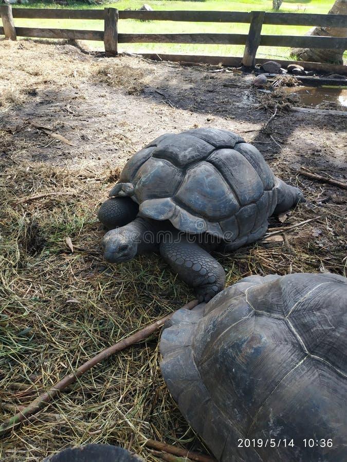 在普拉兰岛塞舌尔的巨型乌龟 免版税库存照片