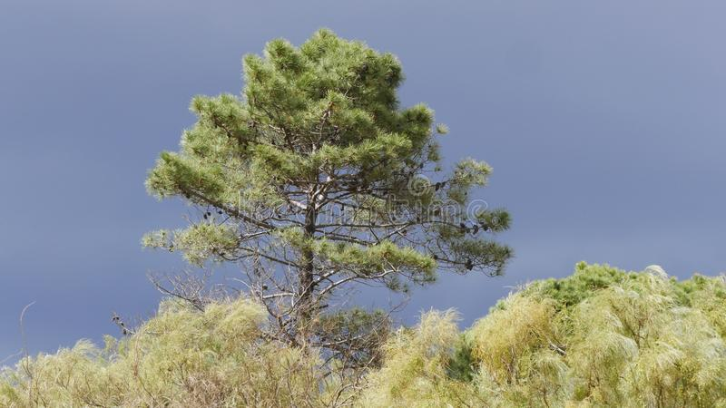 在普腊亚佛得岛海滩的偏僻的树  库存图片