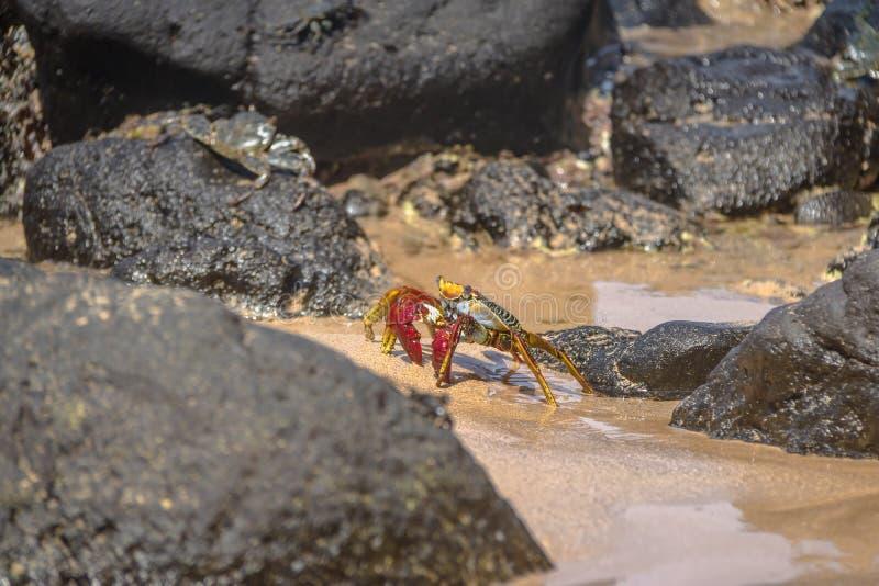 在普腊亚的五颜六色的红色螃蟹做Sancho海滩-费尔南多・迪诺罗尼亚群岛, Pernambuco,巴西 库存照片