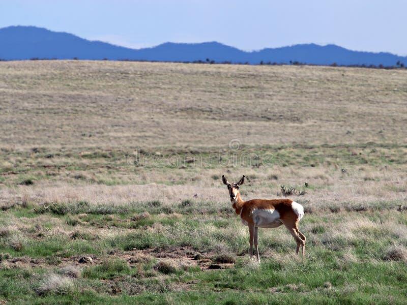 在普里斯科特谷高地的Pronghorn母鹿 免版税库存图片