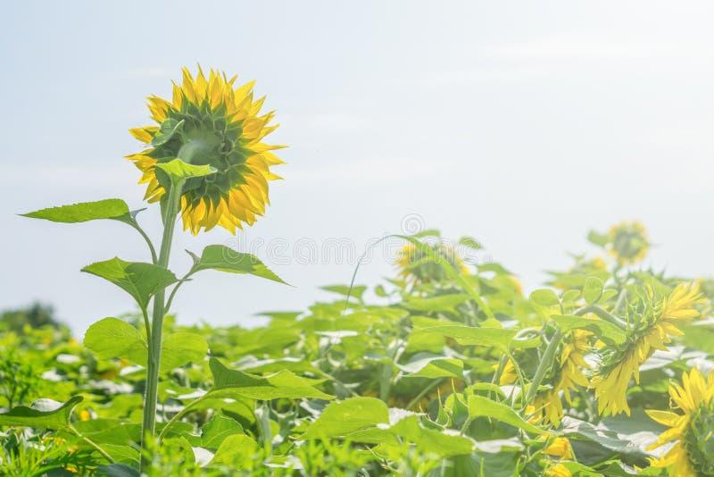 在晴天关闭的向日葵领域被隔绝的 免版税图库摄影