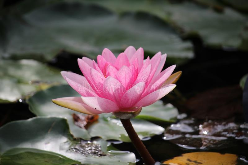 在晴朗的下午的waterlilly桃红色亮光 库存图片