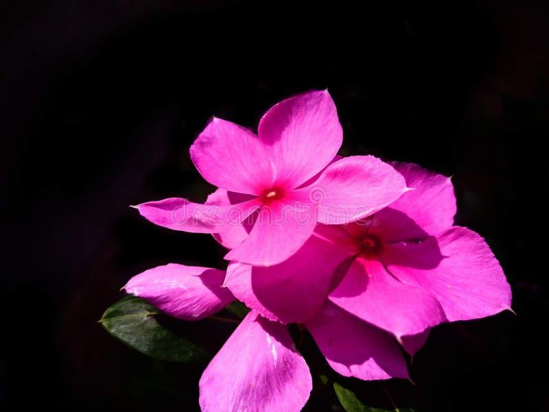 在晴朗的光的一朵美丽的桃红色花 免版税库存图片
