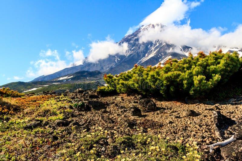 在晴朗的天气的科里亚克火山火山 在前景雪松 i 库存照片