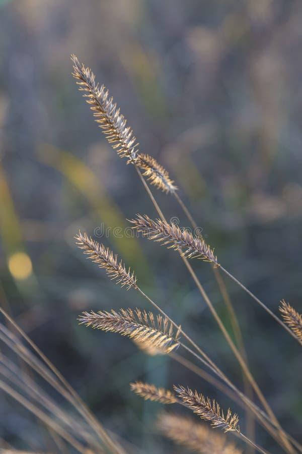 在晴朗的秋天草甸的干花 免版税库存照片