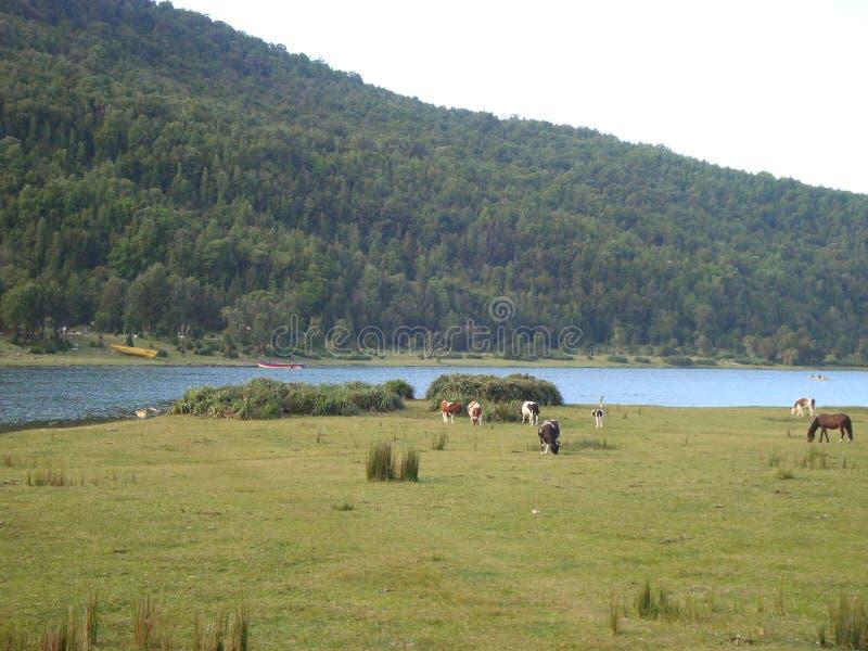 在智利南部的Caleta神鹰 免版税库存图片