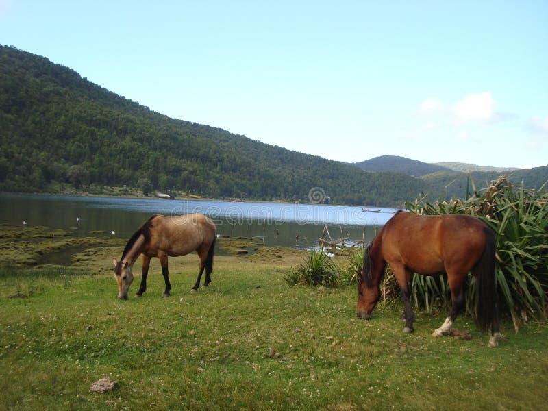 在智利南部的Caleta神鹰 免版税图库摄影