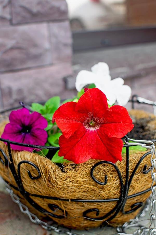 在暂停的装饰花盆的明亮的喇叭花花 库存图片