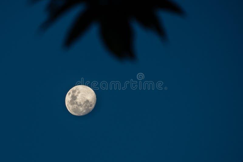 在暮色天空的满月是蓝色的与叶子的阴影作为前景 库存图片