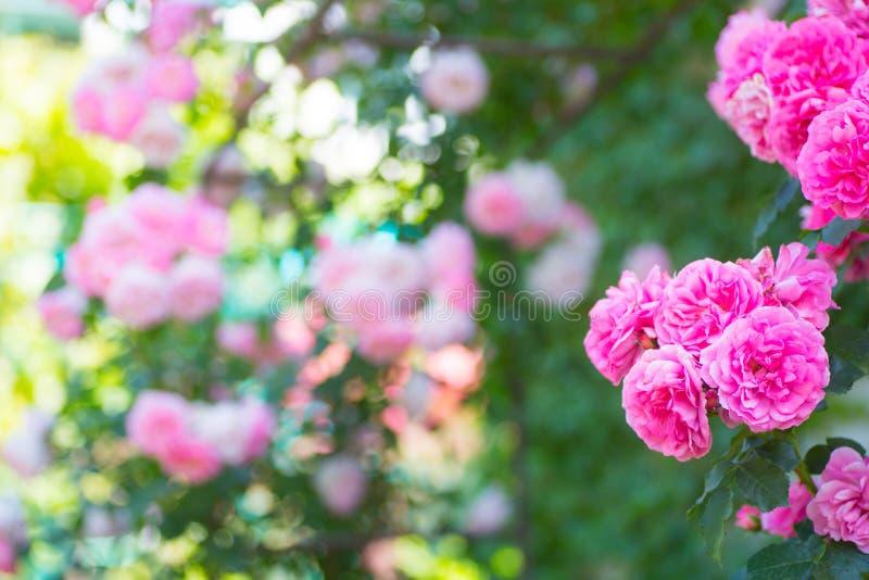 在曲拱的美丽的午后茶会玫瑰色花晴天在庭院里 库存照片