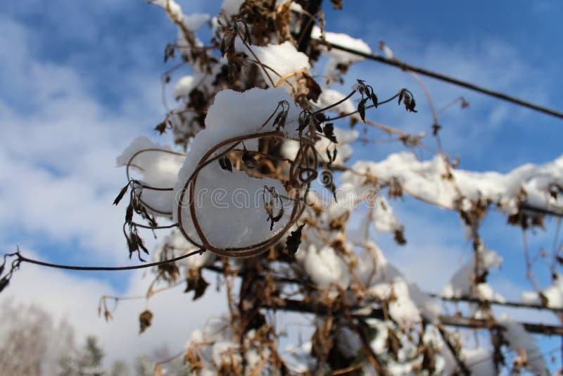 在曲拱的花在第一雪下 免版税图库摄影
