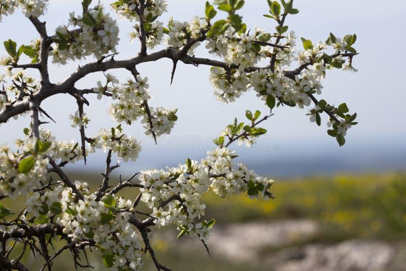 在更低的高原Chatyr Dag,克里米亚的野黑樱桃开花 库存照片