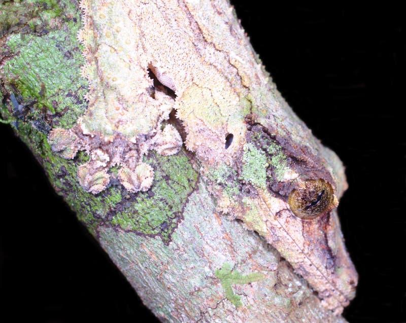 在最佳的伪装Uroplatus sikorae的生苔叶子被盯梢的壁虎在Mantadia雨林马达加斯加 库存照片