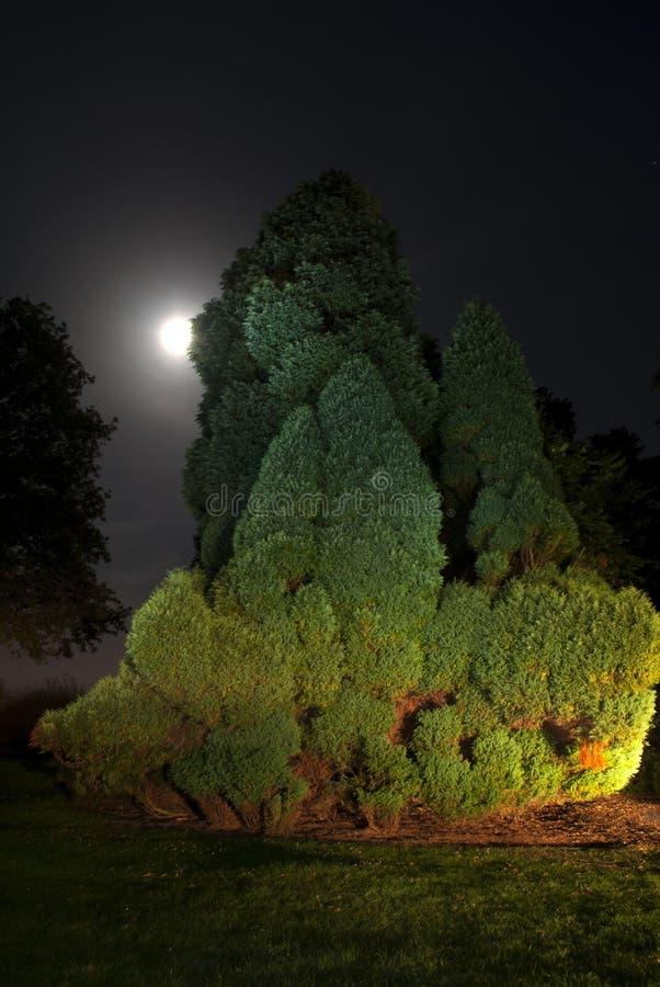在月光的杜松 免版税库存照片