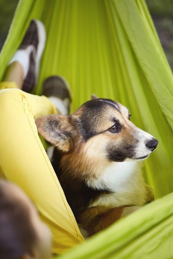 在有他的所有者的绿色吊床的逗人喜爱的狗威尔士小狗彭布罗克角画象  看起来微笑的小狗的小狗外部 库存照片
