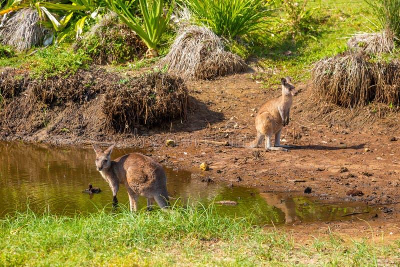 在有卵石花纹的海滩的澳大利亚袋鼠 免版税图库摄影