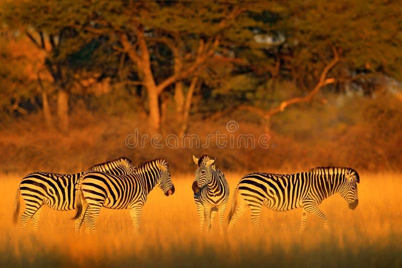 在有晚上光的象草的自然栖所抱怨斑马,马属拟斑马,在万基国家公园,津巴布韦 在savanah的日落 库存照片