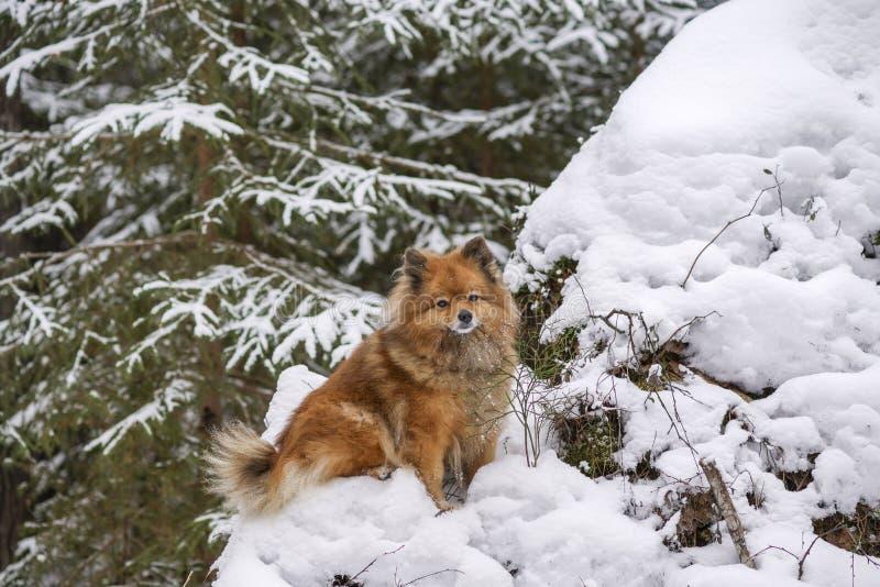 在有波美丝毛狗的狗的冬天森林走 免版税库存照片