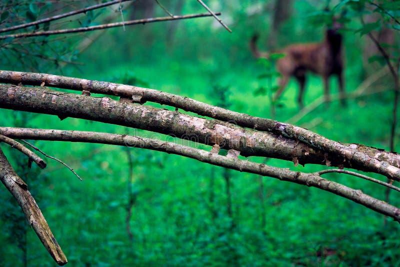 在有狗的森林里下落的分支 库存照片