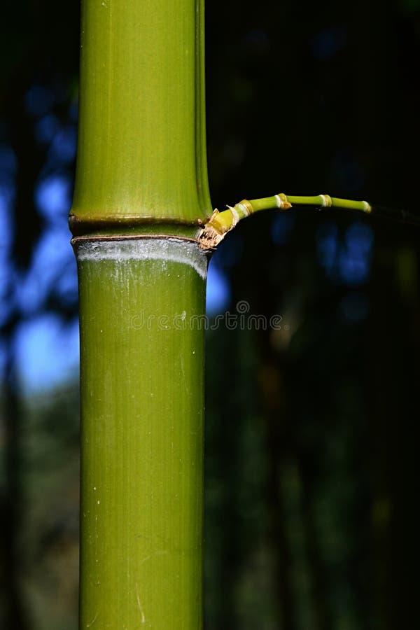 在有生长从结的小旁边不生叶的分支的竹森林里成熟绿色竹茎 库存图片