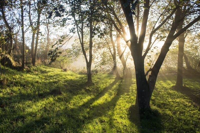 在有薄雾的树的日出 免版税库存图片